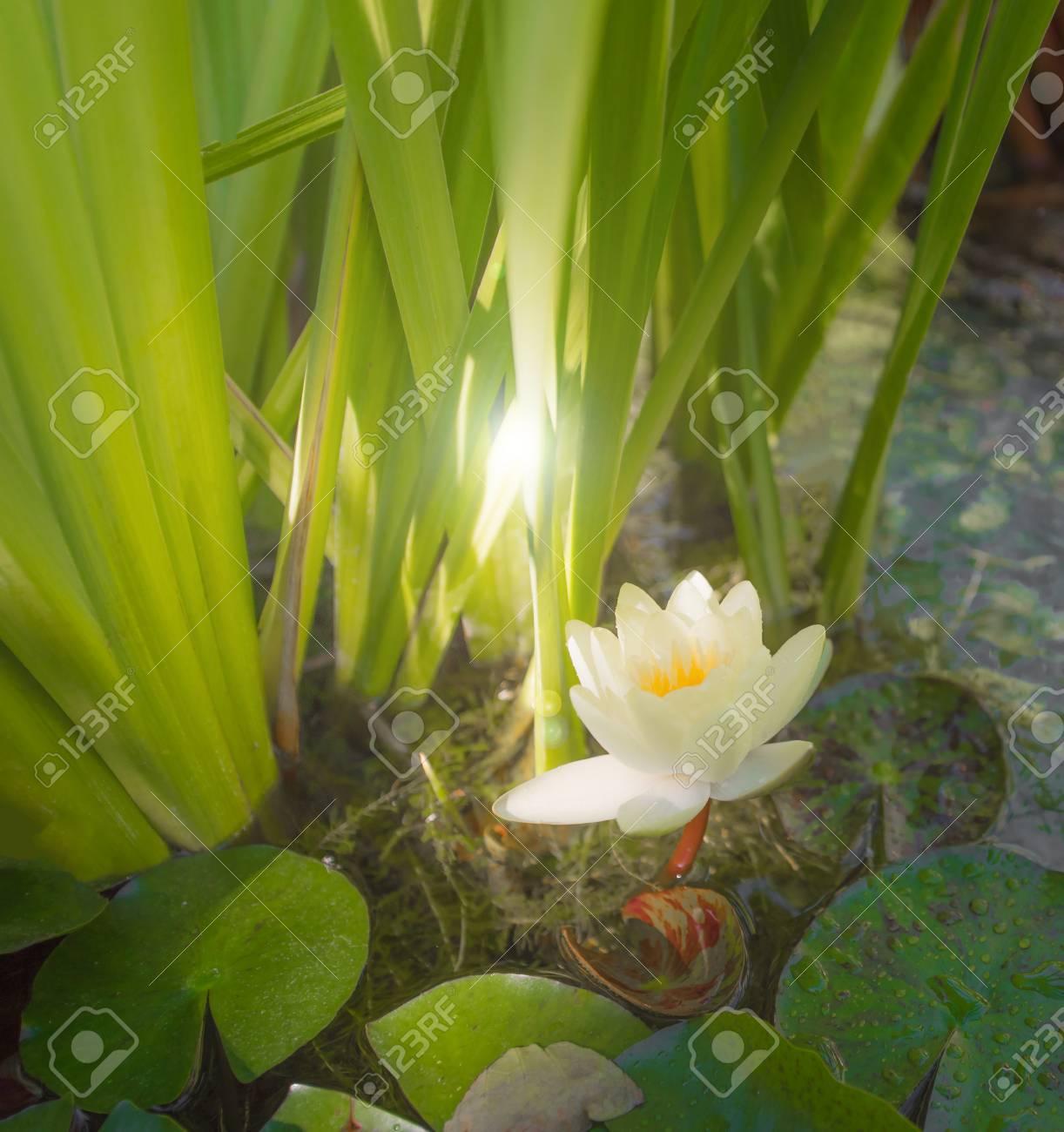 Light yellow Lotus blooming in pond - 115023917