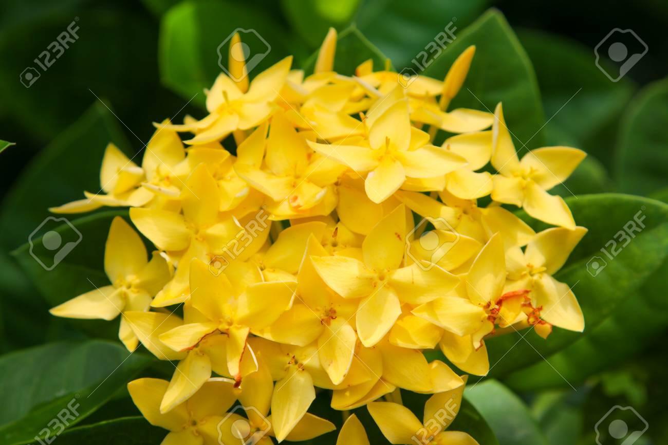 Spike Flower Yellow Colorllow Flower Spikeixora Flower Stock