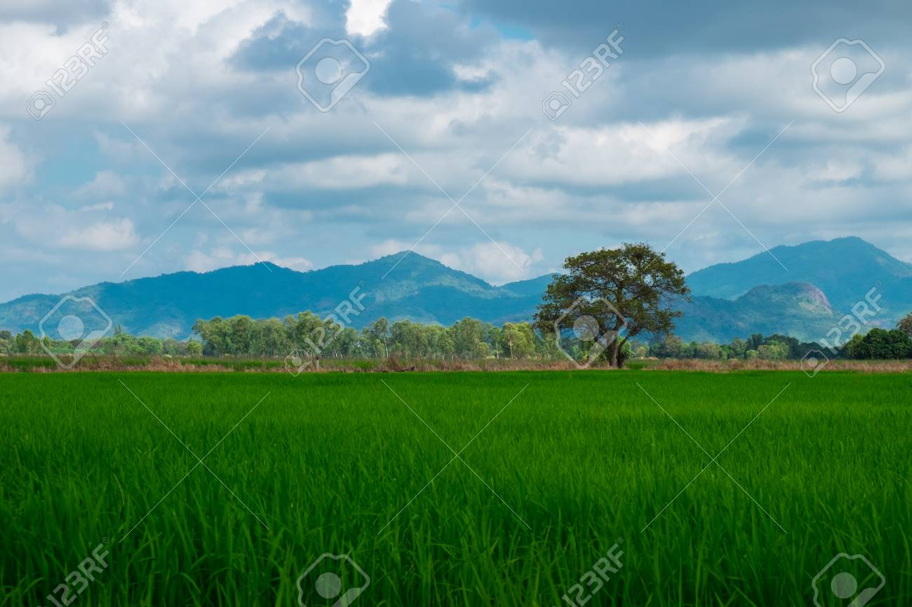 Agriculture Of Asia Beautiful Scenery Asian Green Rice Field With Clear Sky Image For Nature