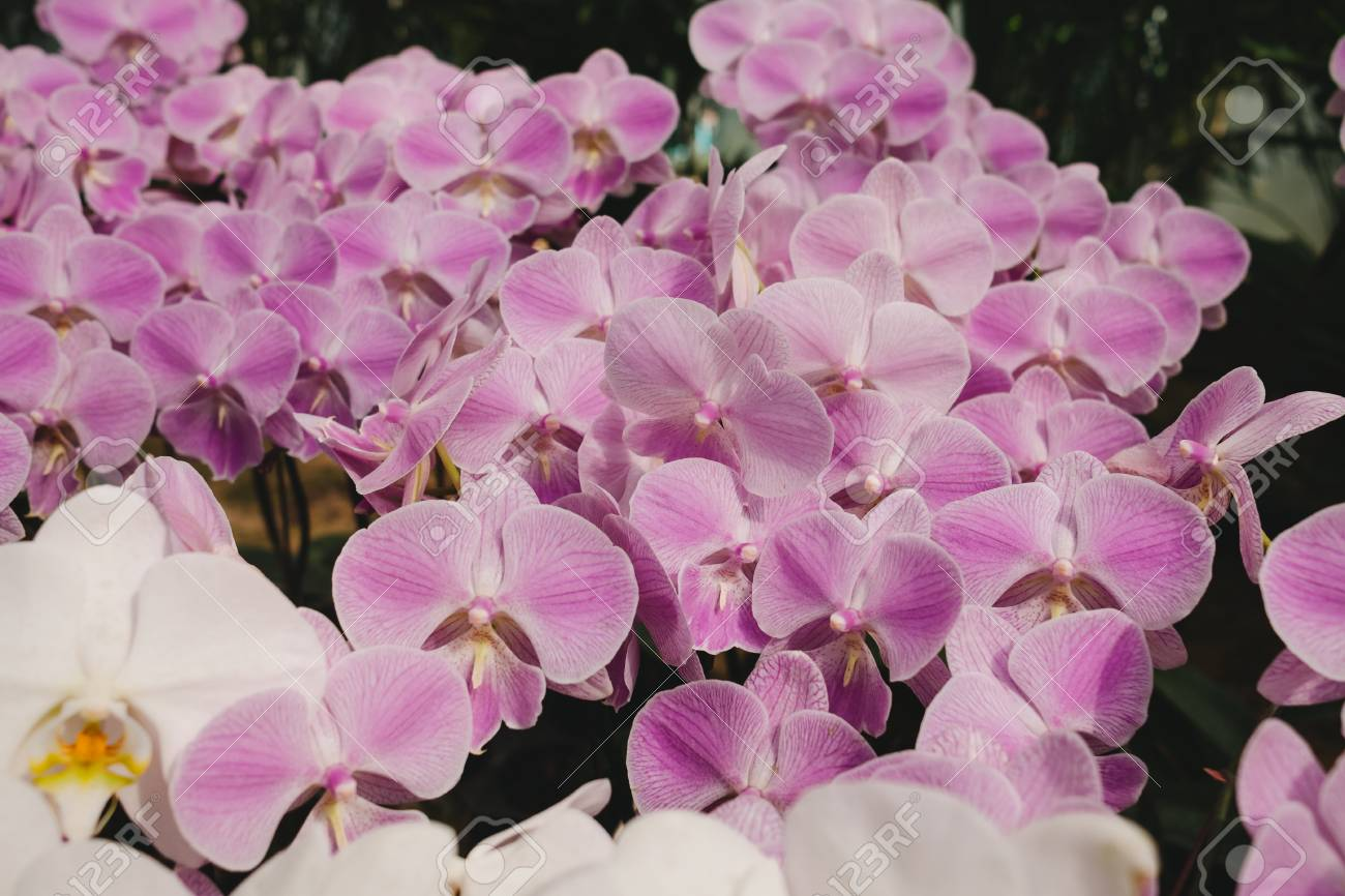 Celebration valentine day background beautiful orchid flowers celebration valentine day background beautiful orchid flowers in garden image for nature ornamental izmirmasajfo