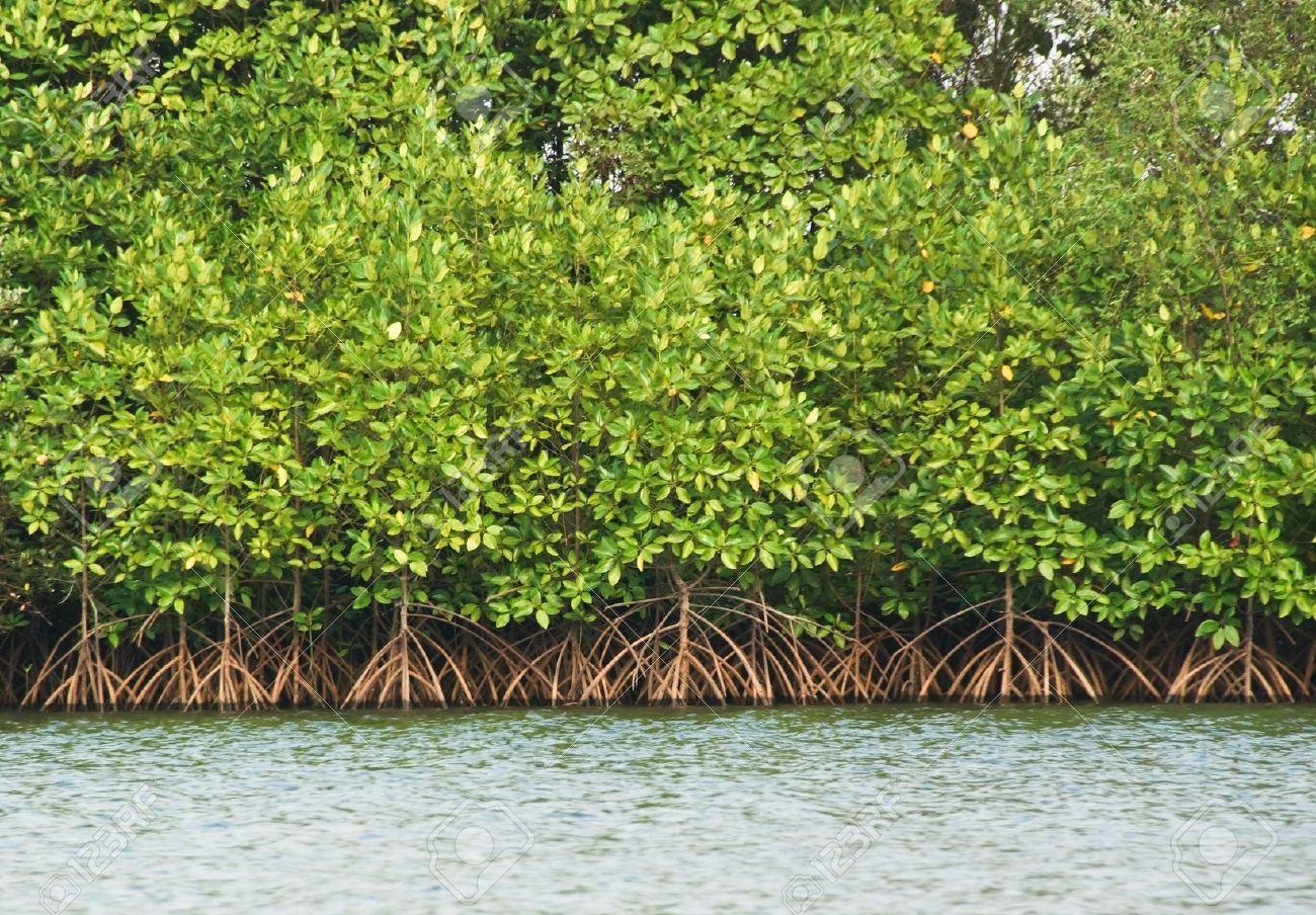 Image result for mangrove swamp thailand