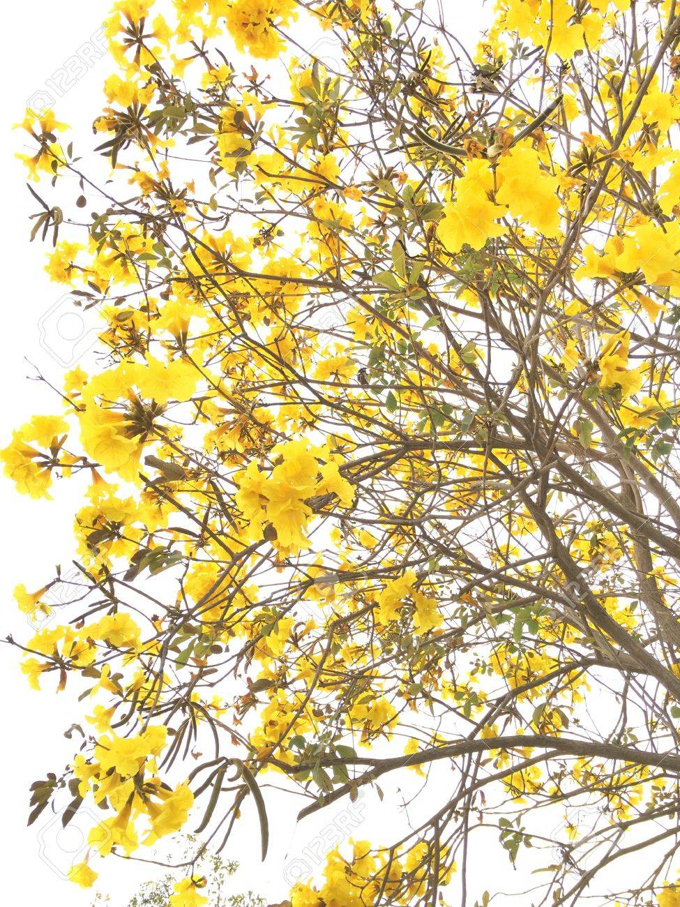 Yellow India Tree With Yellow Flowers Stock Photo Picture And Royalty Free Image Image 57820128