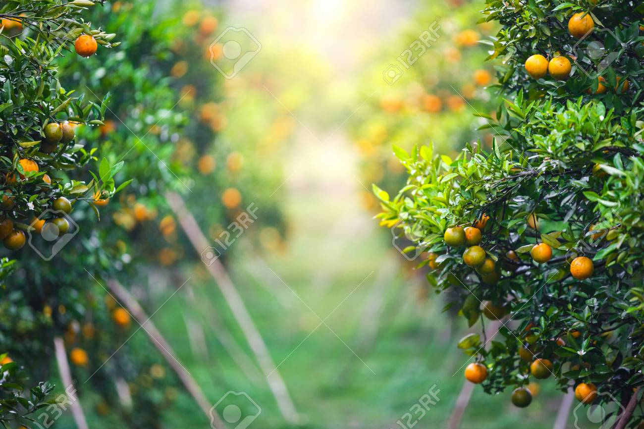Orange Fruit Garden Images