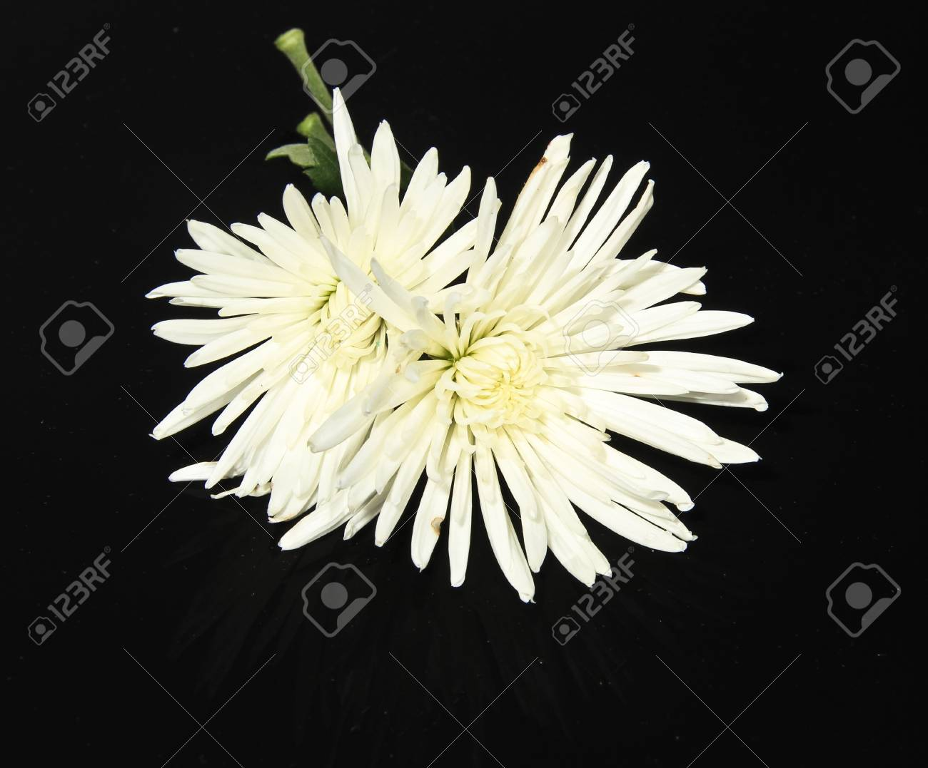 This Photo Is Close Up Of White Chrysanthemum Flower Stock Photo