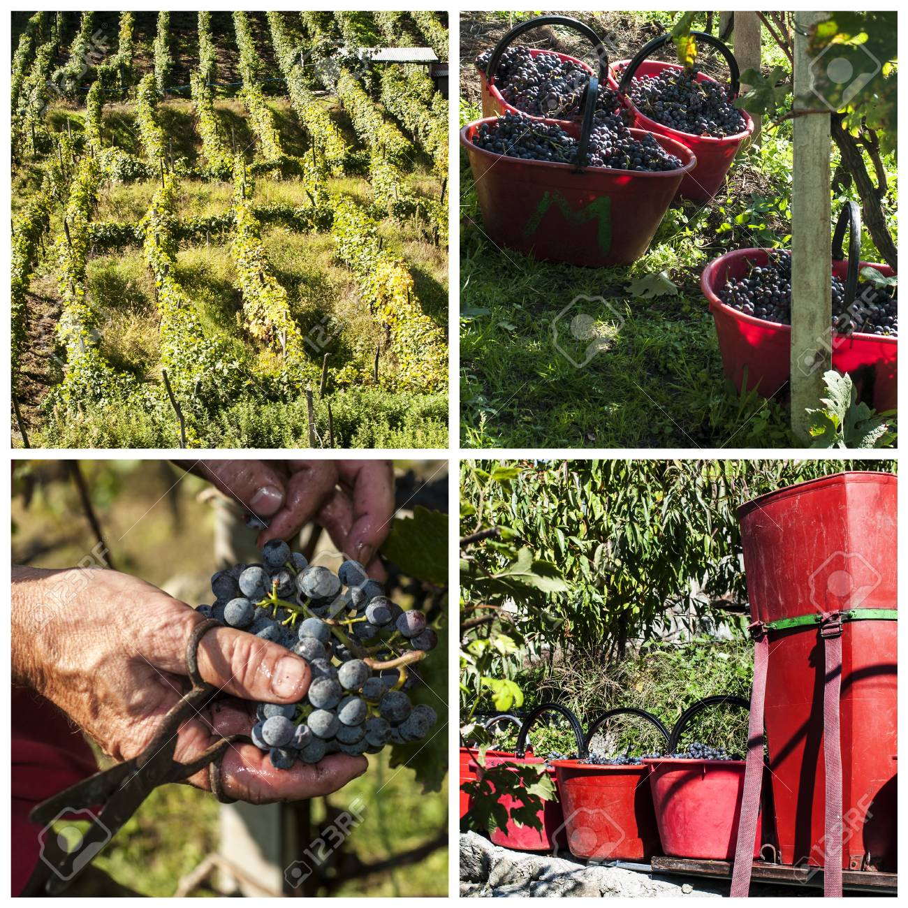Harvest in typical alpines vineyards, Italy Stock Photo - 15703613