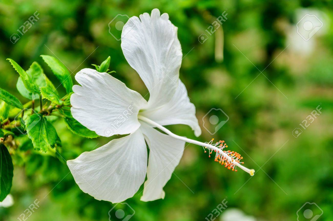 White Hibiscus Flowers On The Tree Stock Photo Picture And Royalty