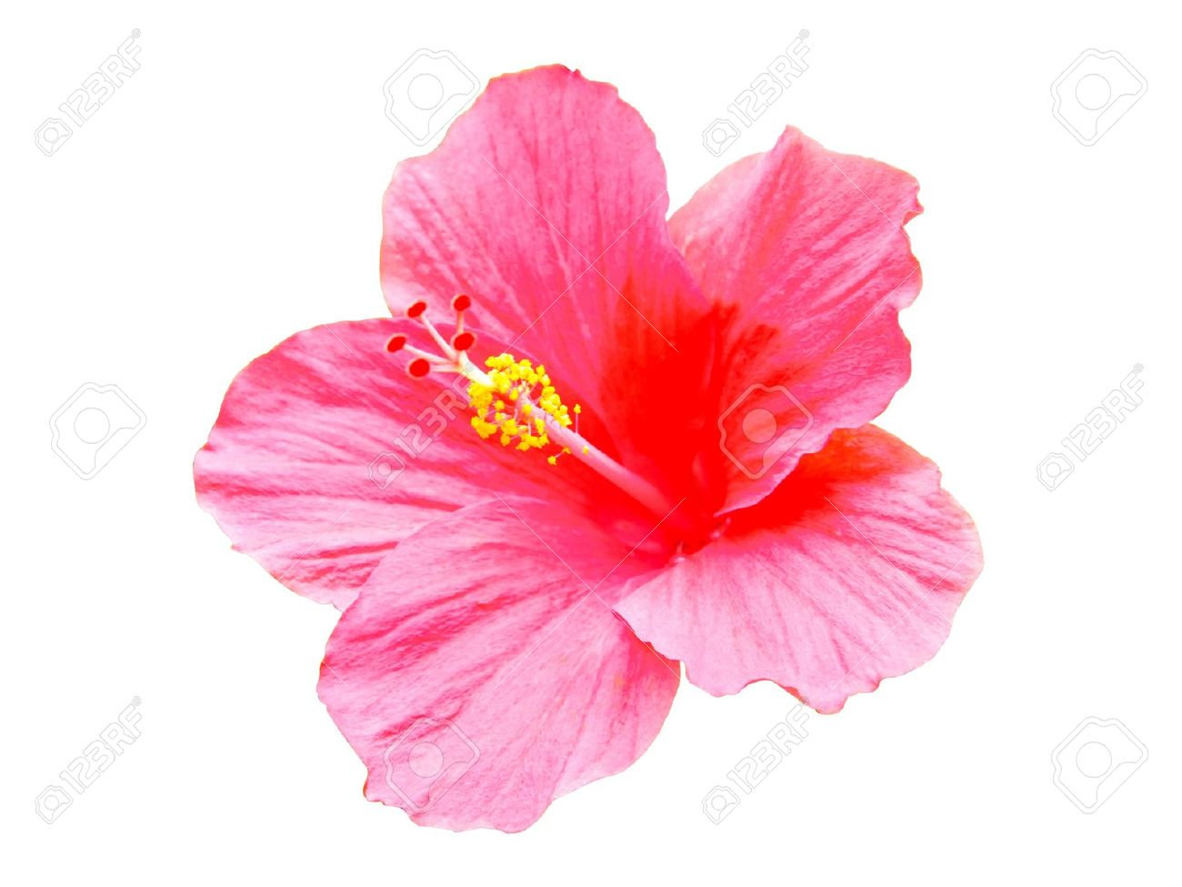 Pink hibiscus flowers isolated on white background stock photo pink hibiscus flowers isolated on white background stock photo 20831531 izmirmasajfo Gallery