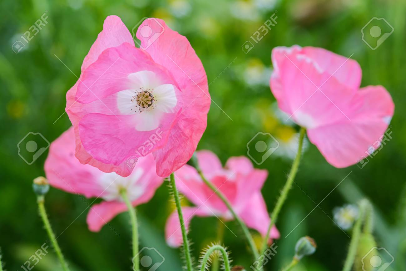 Close Up Pink Poppies Flower In The Garden Stock Photo Picture And