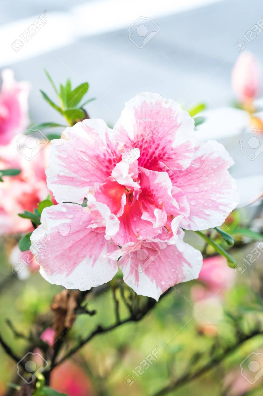 Beautiful Of A Blooming Pink Azalea Flowers Stock Photo Picture And