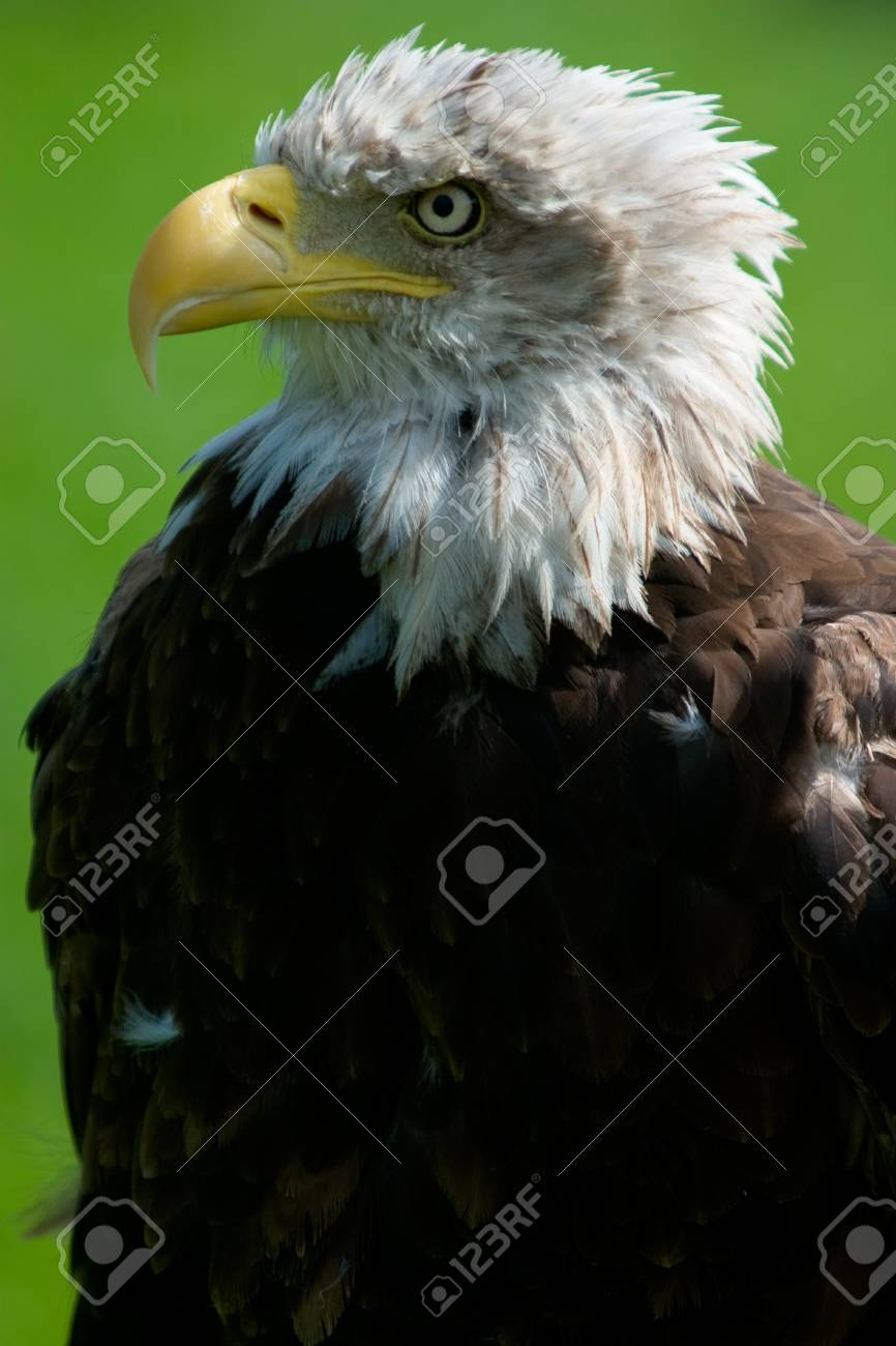 Close-up of a bald eagle Haliaeetus leucocephalus Stock Photo - 1728273