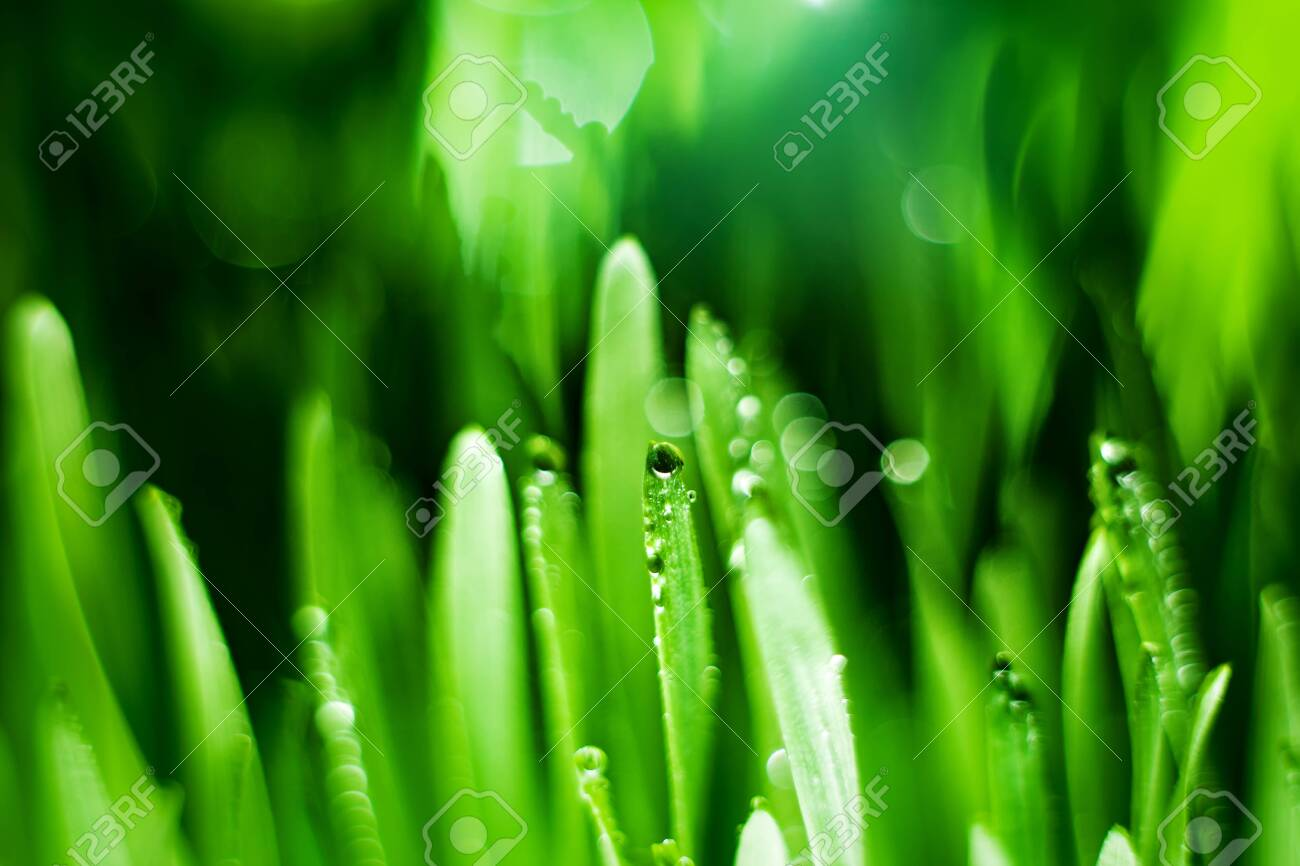 Macro. Background, water drops on the green grass. Desktop background. Selective focus. Horizontal. - 141778722