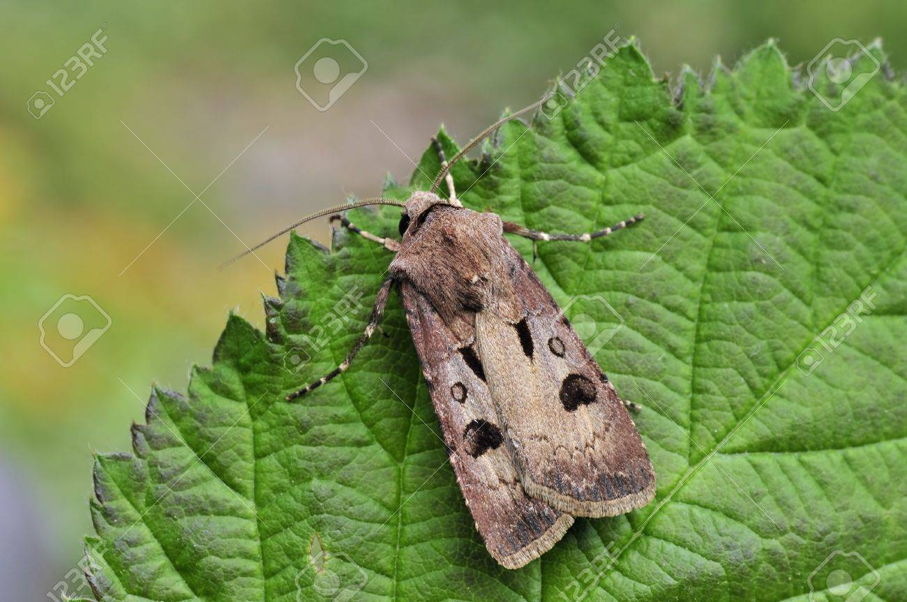 moth Stock Photo - 8975042