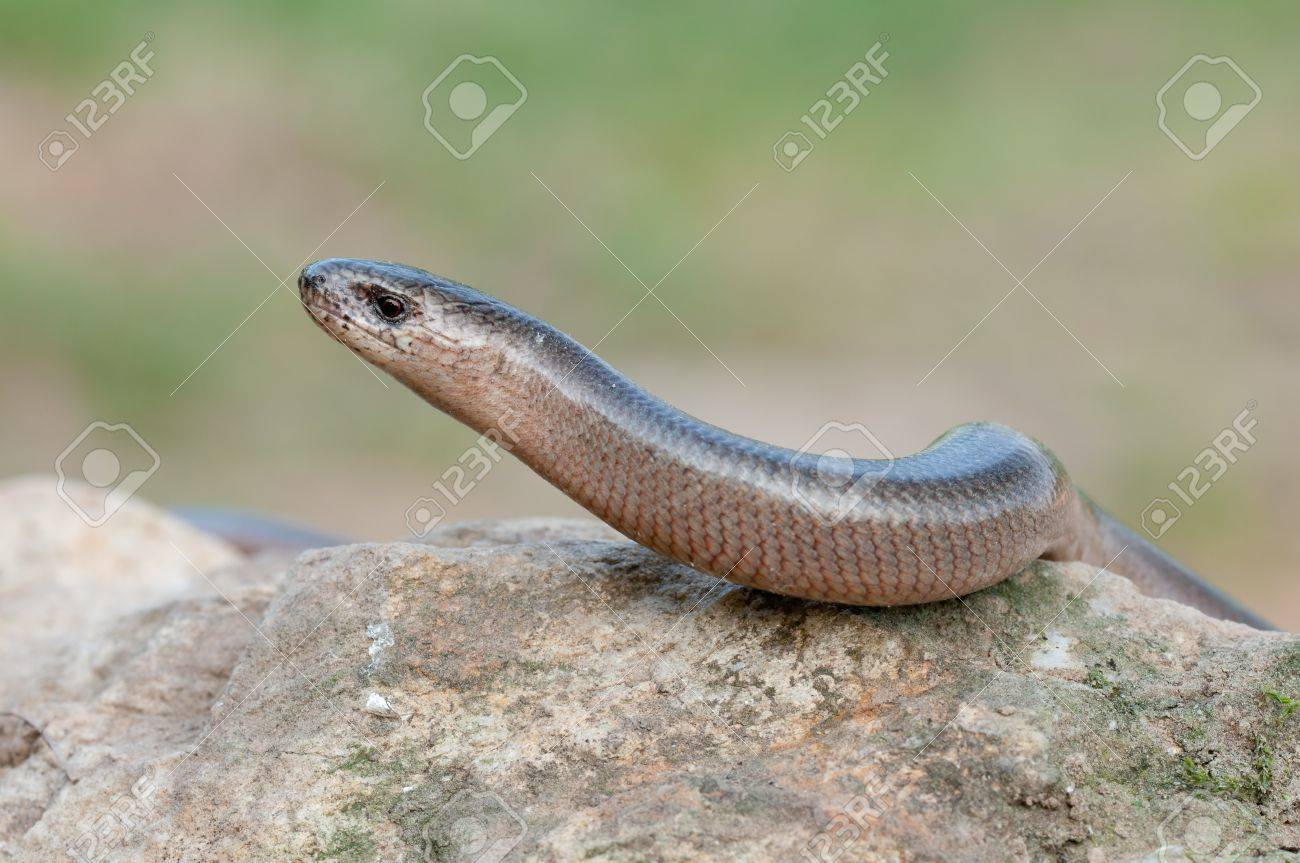 a young Blindworm on a stone Stock Photo - 9448029