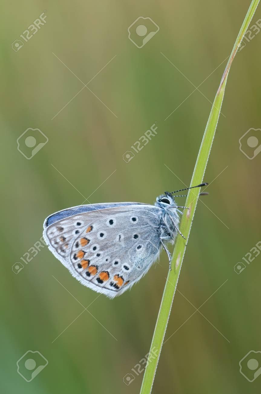 Macro of a Polyommatus icarus Stock Photo - 16629126