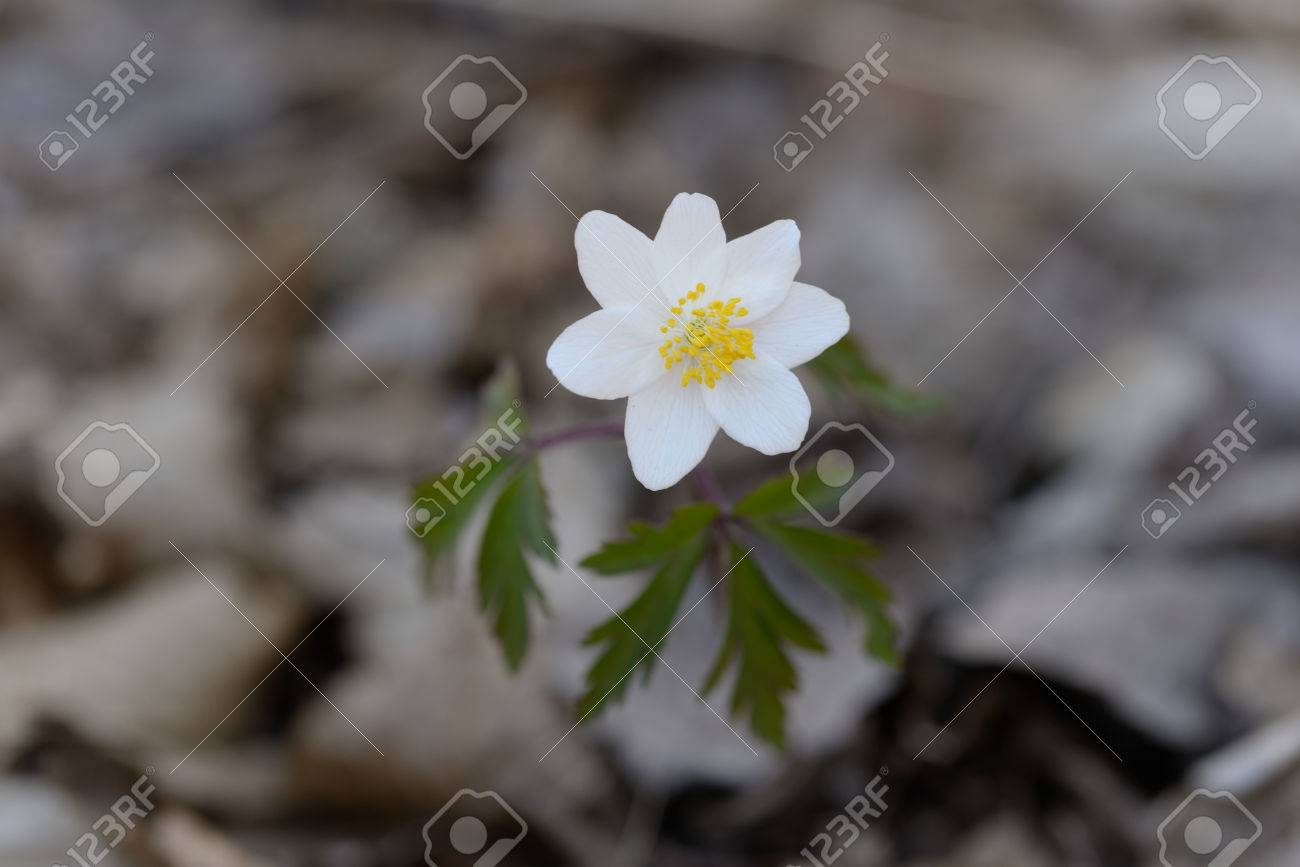 Anemone Nemorosa Is An Early Spring Flowering Plant Native To