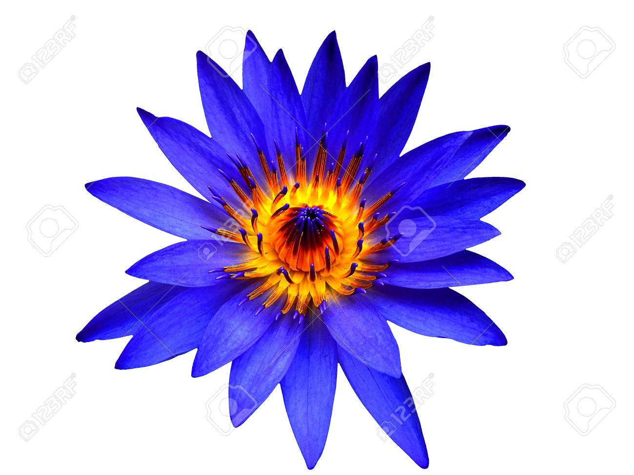 Fleur de lotus bleu fleurit sur isolé.