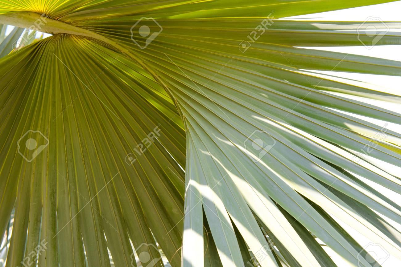 Palm Tree Leaf Texture
