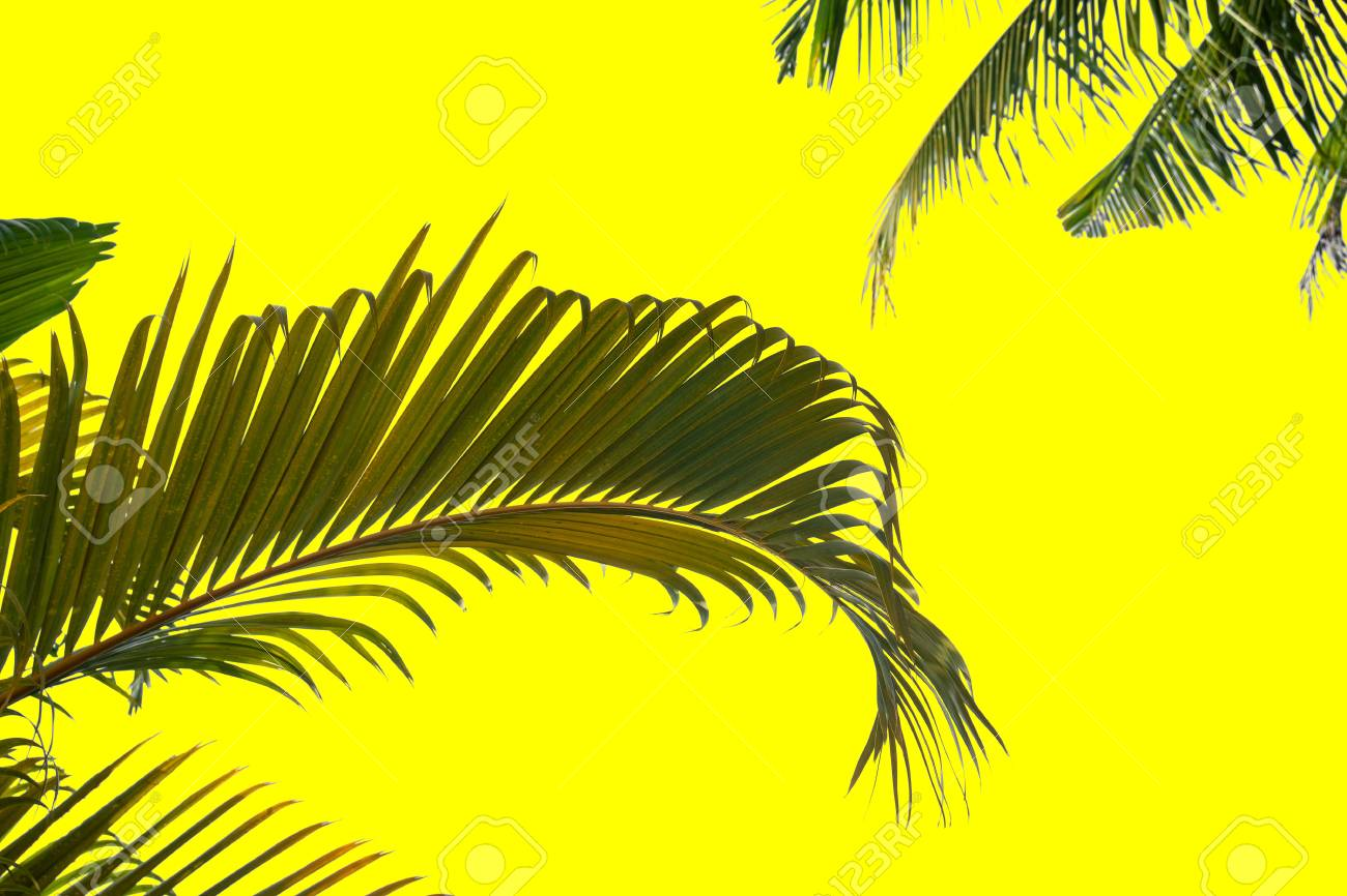 Green Leaf Of Coconut Palm Tree On Yellow Background Stock Photo Picture And Royalty Free Image Image 111216909
