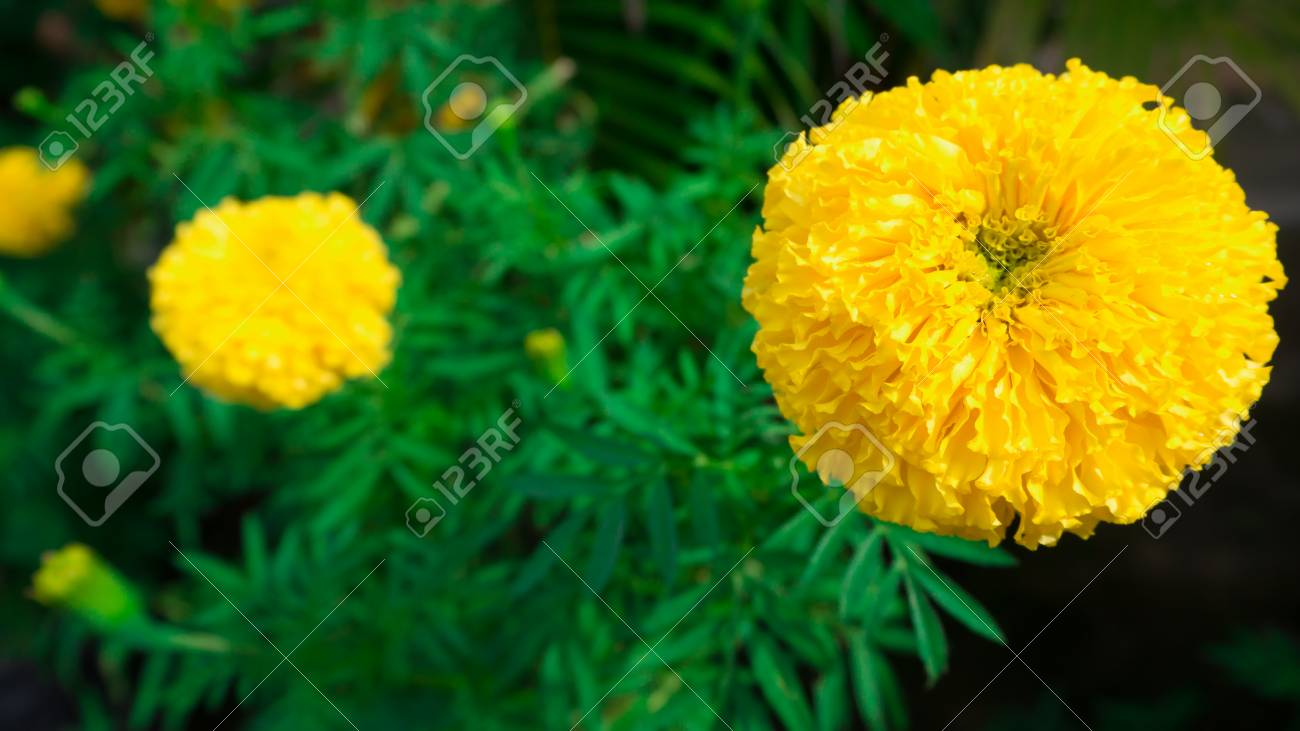 Marigolds Big Round Yellow Flowers Stock Photo Picture And Royalty