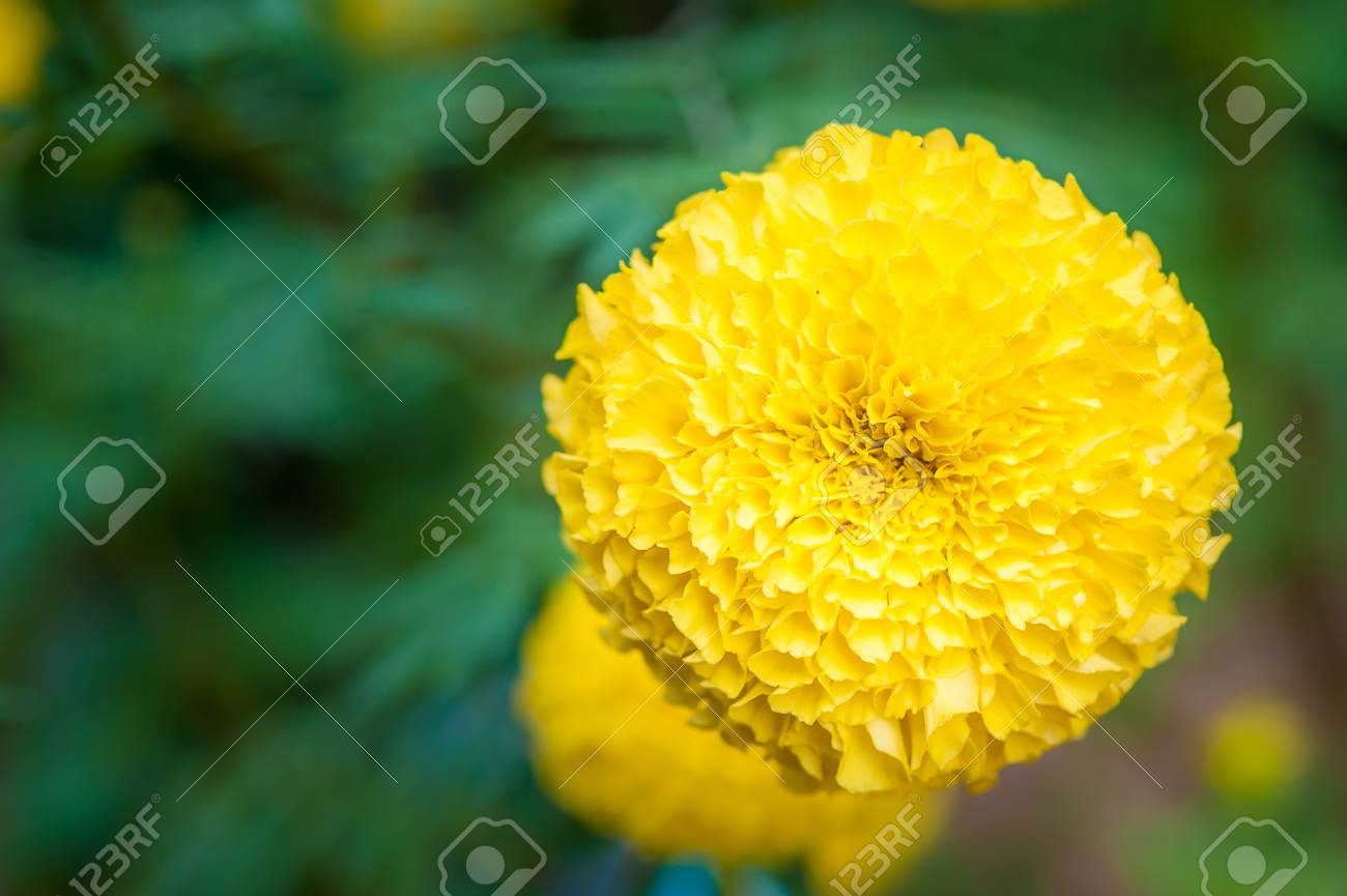 Marigolds big round yellow flowers stock photo picture and royalty marigolds big round yellow flowers stock photo 88851029 mightylinksfo