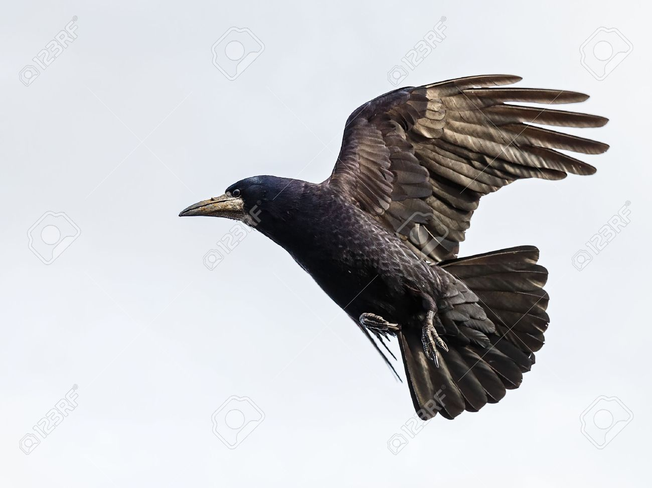 Photo of black crow flying with spread wings Standard-Bild - 54116463