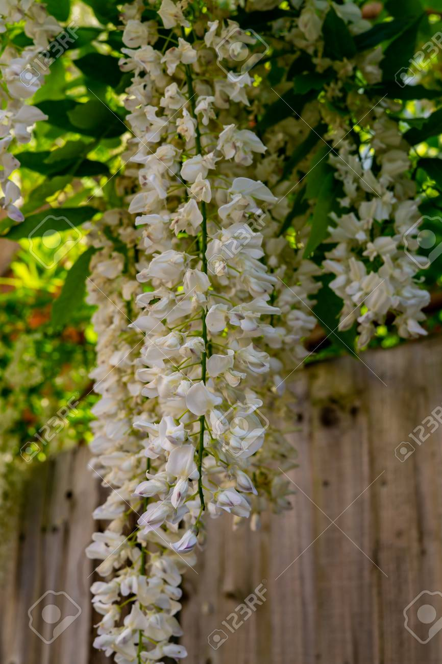 White Wisteria Flowers Spring In Crediton England 2018 Stock