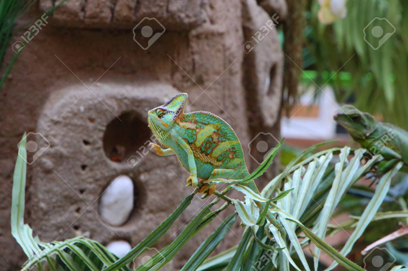 Green Veiled Chameleon On A Plant In A Terrarium Stock Photo Picture And Royalty Free Image Image 123550441