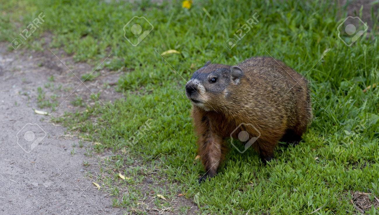 a young groundhog pup also known as a woodchuck stock photo