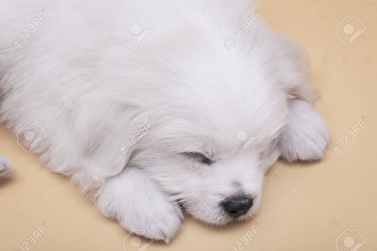 A Maltese Puppy Sleeping With Orange Background Stock Photo Picture And Royalty Free Image Image 78052171