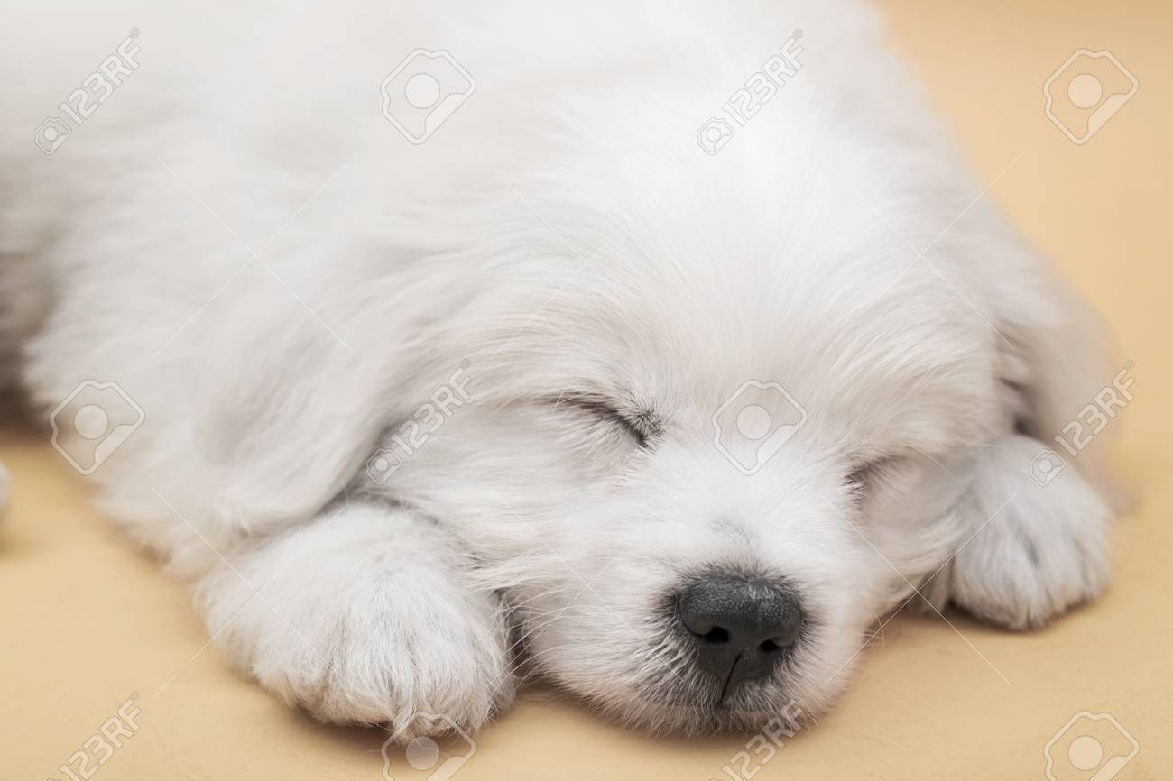 A Maltese Puppy Sleeping With Orange Background Stock Photo Picture And Royalty Free Image Image 78052174