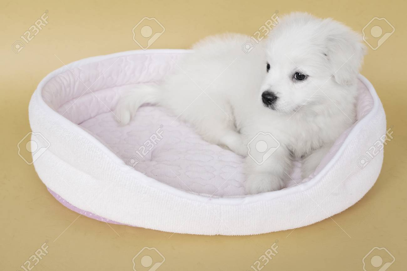 A Maltese Puppy On Its Sleeping Basket With Orange Basket Stock Photo Picture And Royalty Free Image Image 78052177