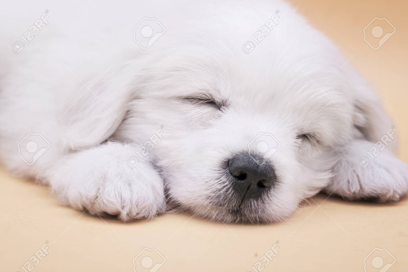 A Maltese Puppy Sleeping With Orange Background Stock Photo Picture And Royalty Free Image Image 78052178