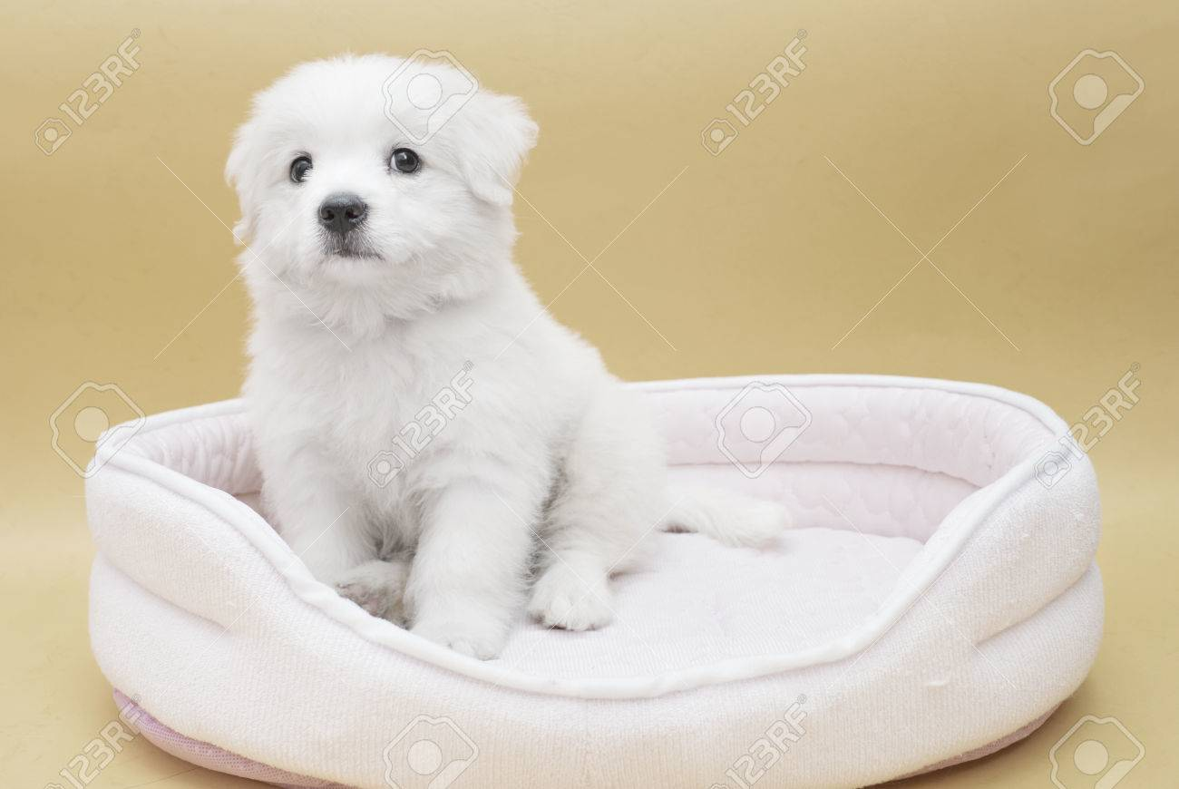 A Maltese Puppy On Its Sleeping Basket With Orange Basket Stock Photo Picture And Royalty Free Image Image 78052180