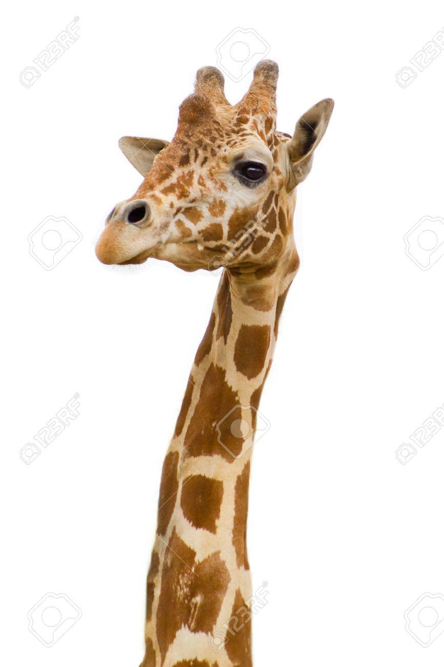 giraffe face in zoo  isolated background Stock Photo - 3769925