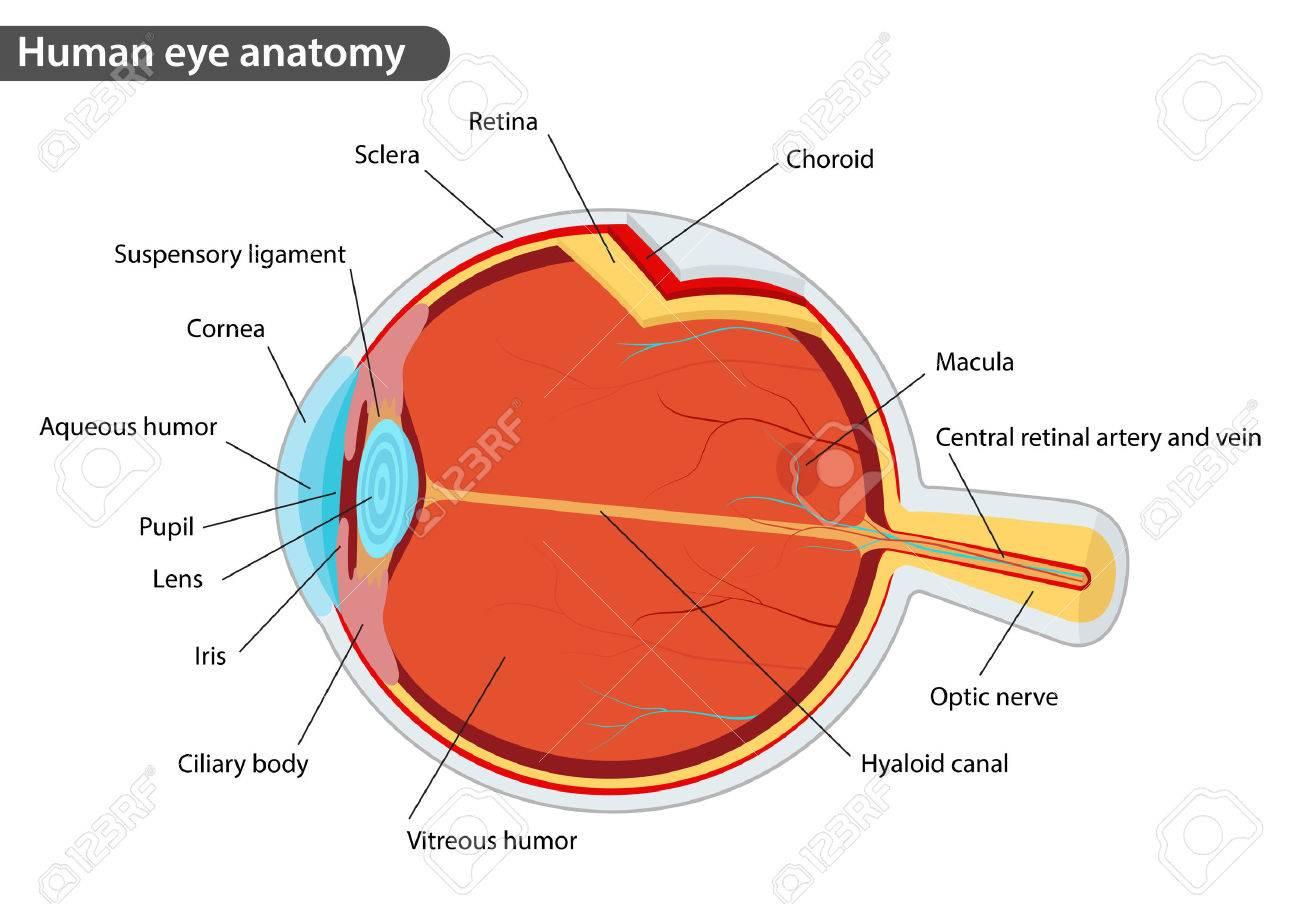 La Anatomía Del Ojo Humano, Con Nombres Ilustraciones Vectoriales ...