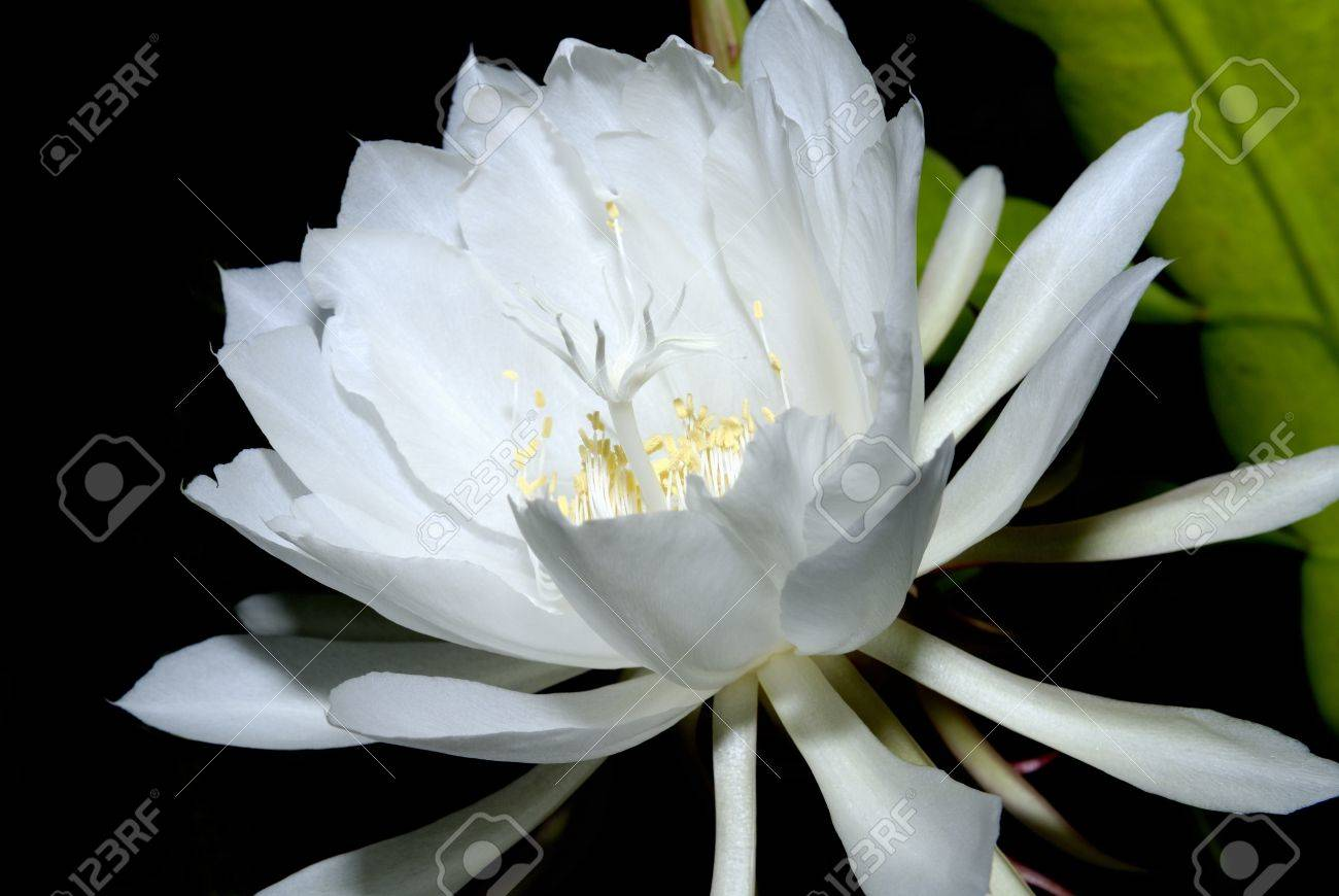 The Epiphyllum,Night-blooming Cereus Stock Photo - 16760974
