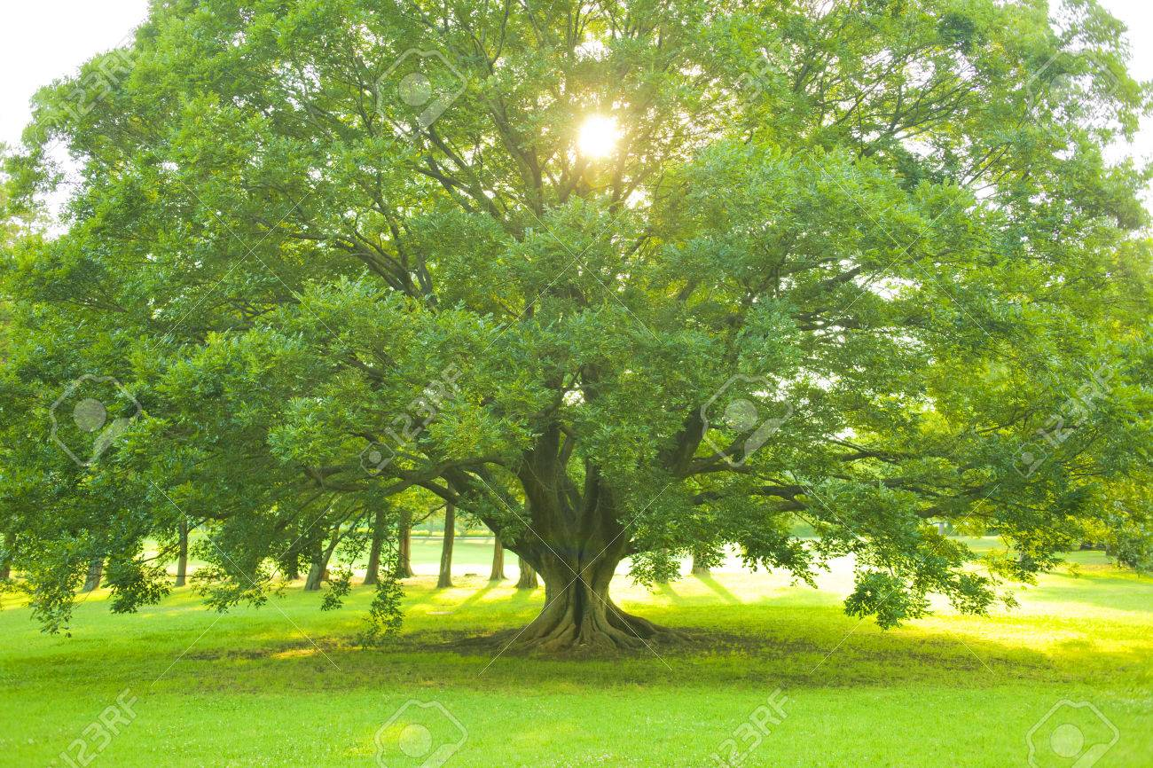Park tree - 86108016