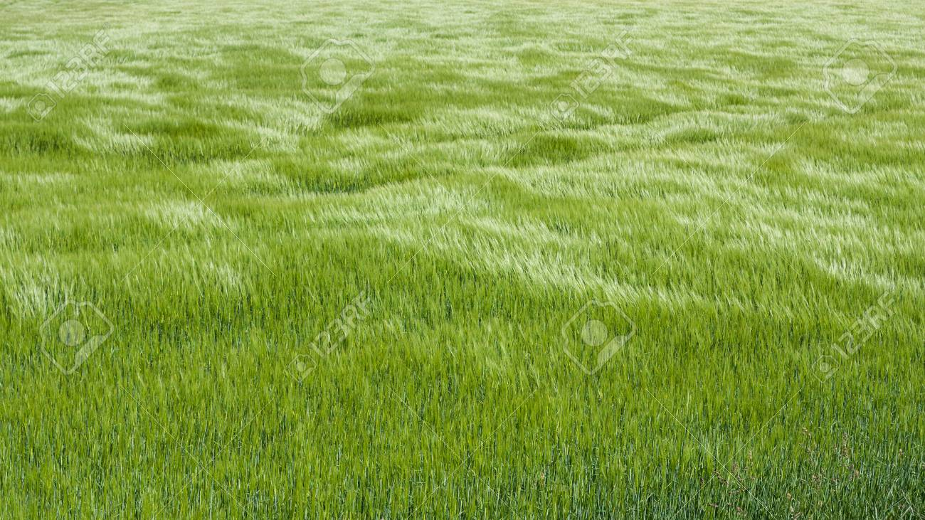 Tall grass texture seamless Wet Grass Tall Grass Texture Seamless Muddy Grass Natural Green Grass With The Waves Of Wind Background Texture Tall Grass Texture Seamless Loadtve Tall Grass Texture Seamless Cartoon Tree Leaves Green Grass Texture