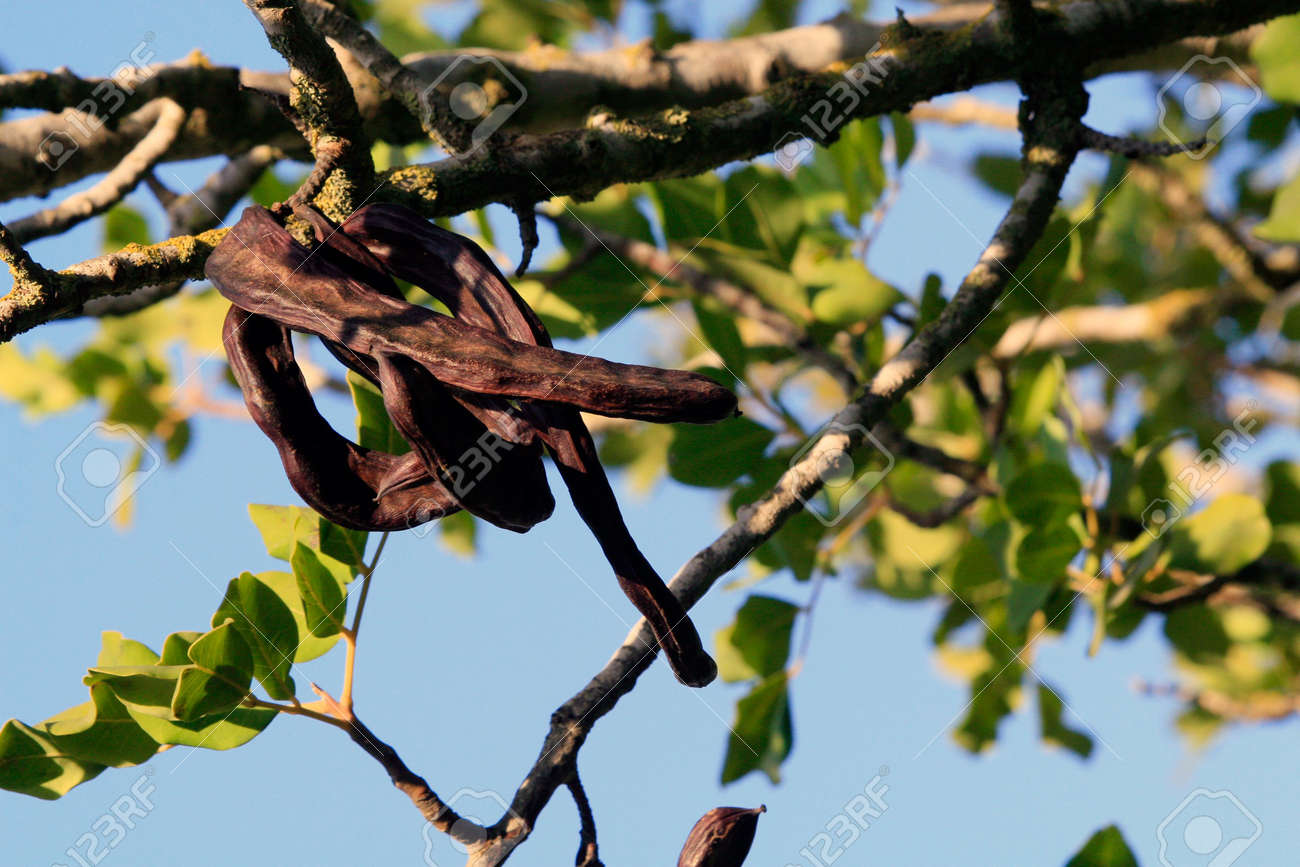 Carob tree in Israel - the middle east - background Stock Photo - 915452