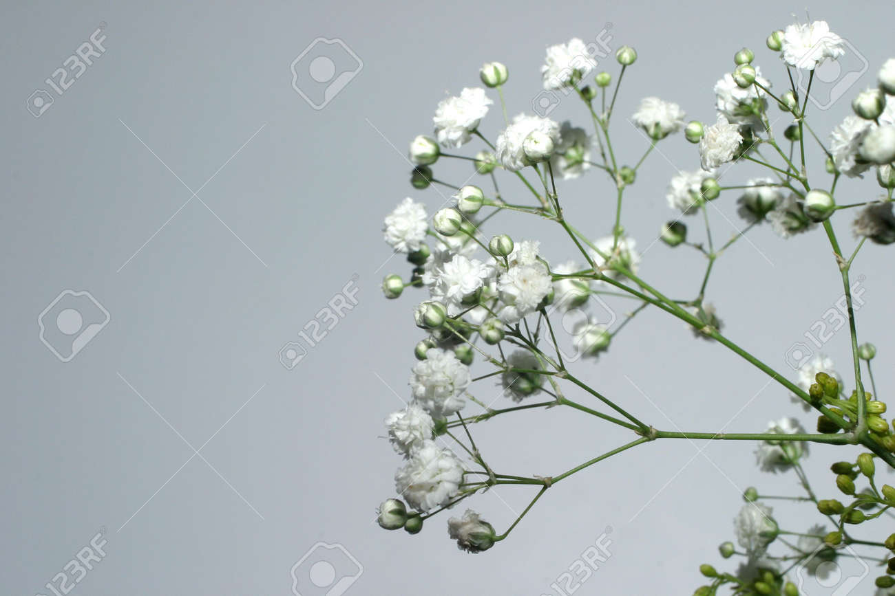 Fiori Piccoli Bianchi.Small White Flowers Over Gray Stock Photo Picture And Royalty