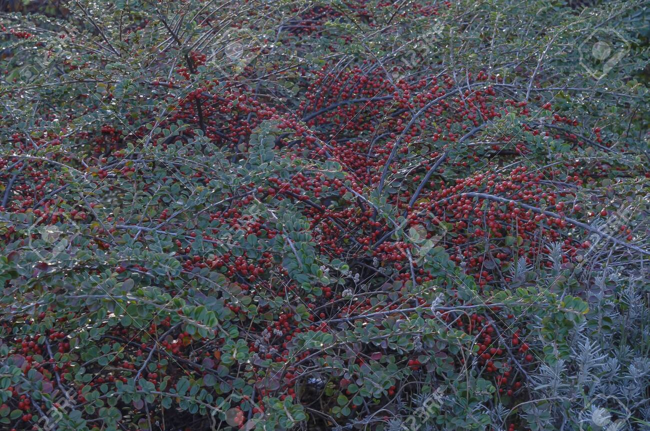 Cotoneaster In The Garden In Autumn A Lot Of Red Berries