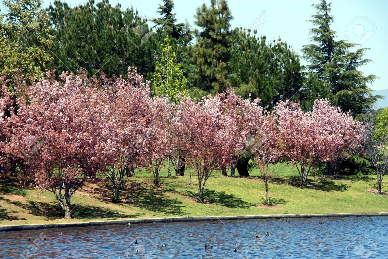 Cherry blossom at the park Stock Photo - 2745880