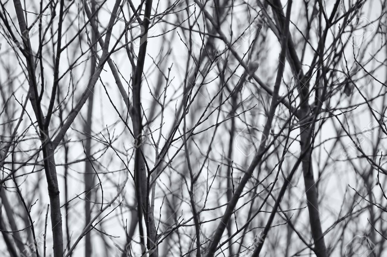 Zwart wit foto van kale bomen takken royalty vrije foto, plaatjes ...