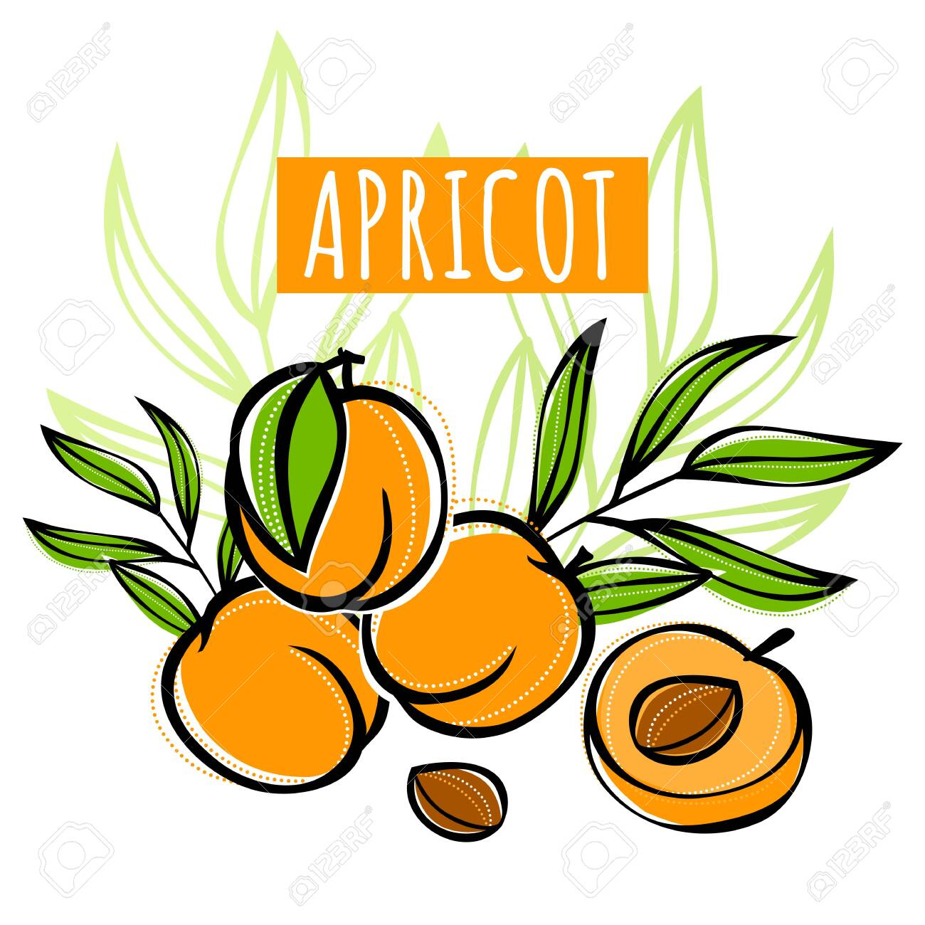 Vector sketch apricot fruit decorated with leaves. Hand drawn vector illustration for labels, restaurant menu, market label or package or another design. - 145344422