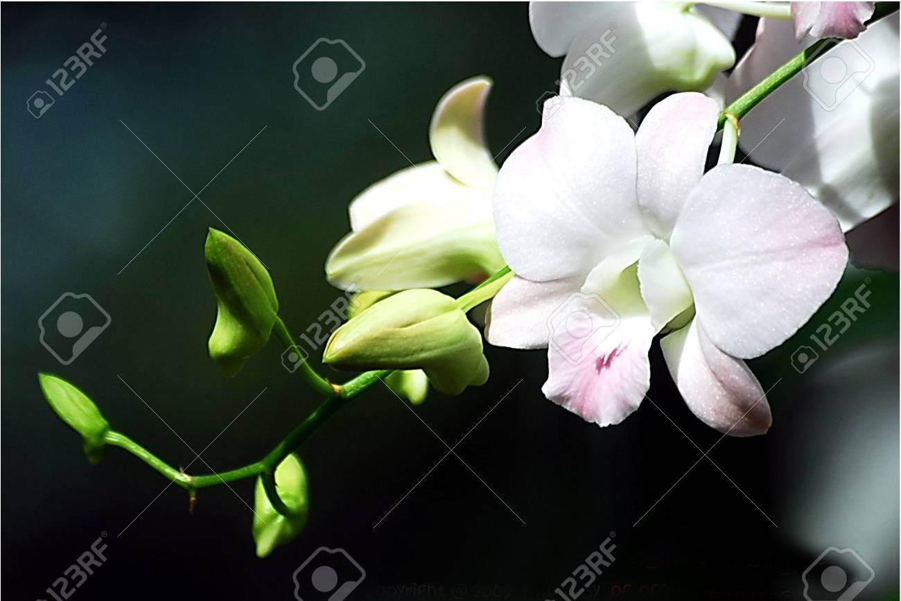orchid white Stock Photo - 7965789