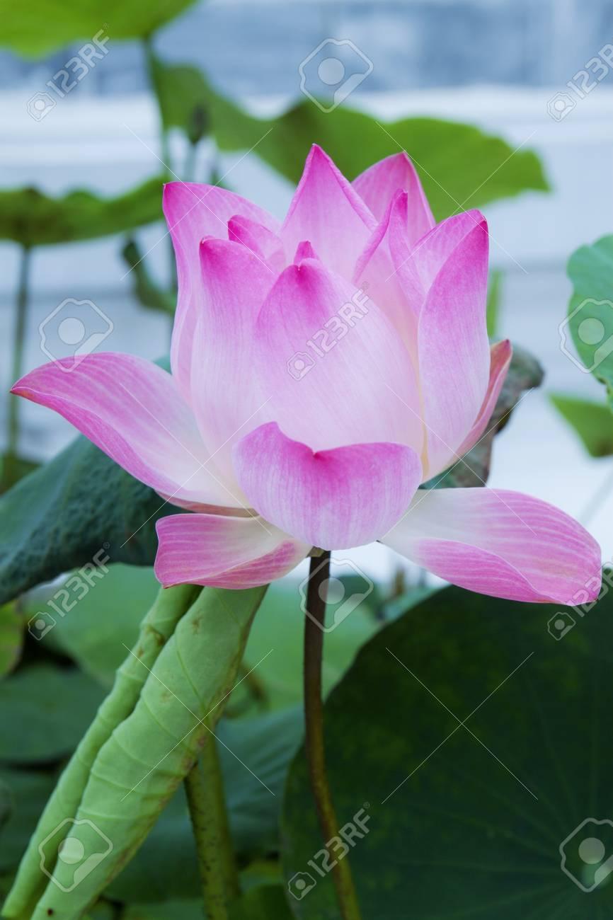 pink Lotus flower beautiful lotus Stock Photo - 15783731