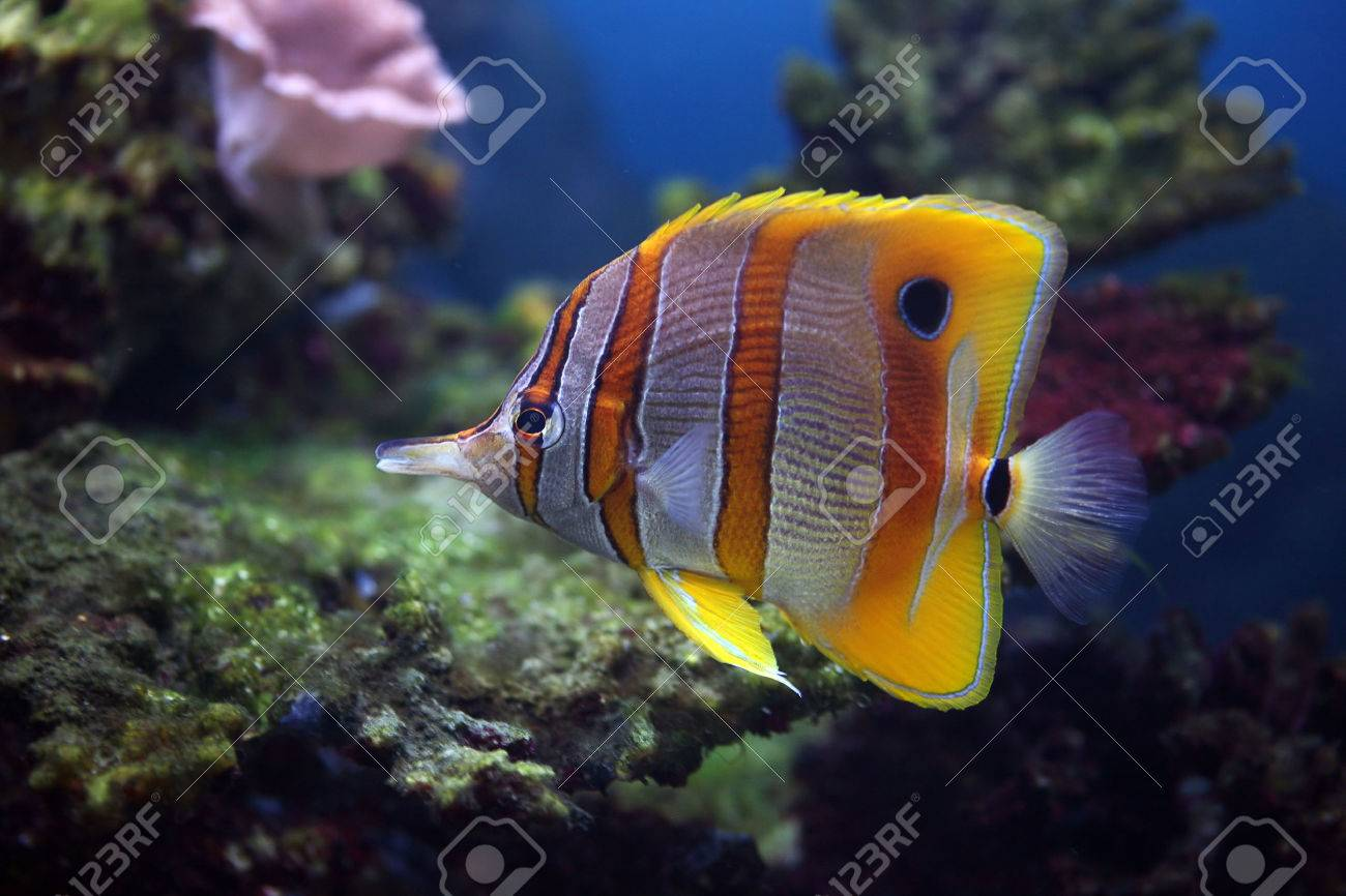 Colourful Sixspine butterfly-fish floats in an aquarium Stock Photo - 1647429