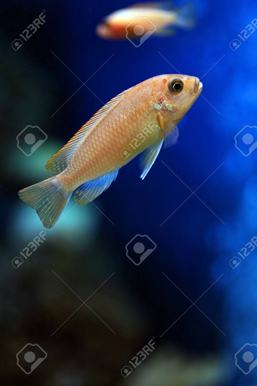 the tropical fish floats in the aquarium Stock Photo - 1677198