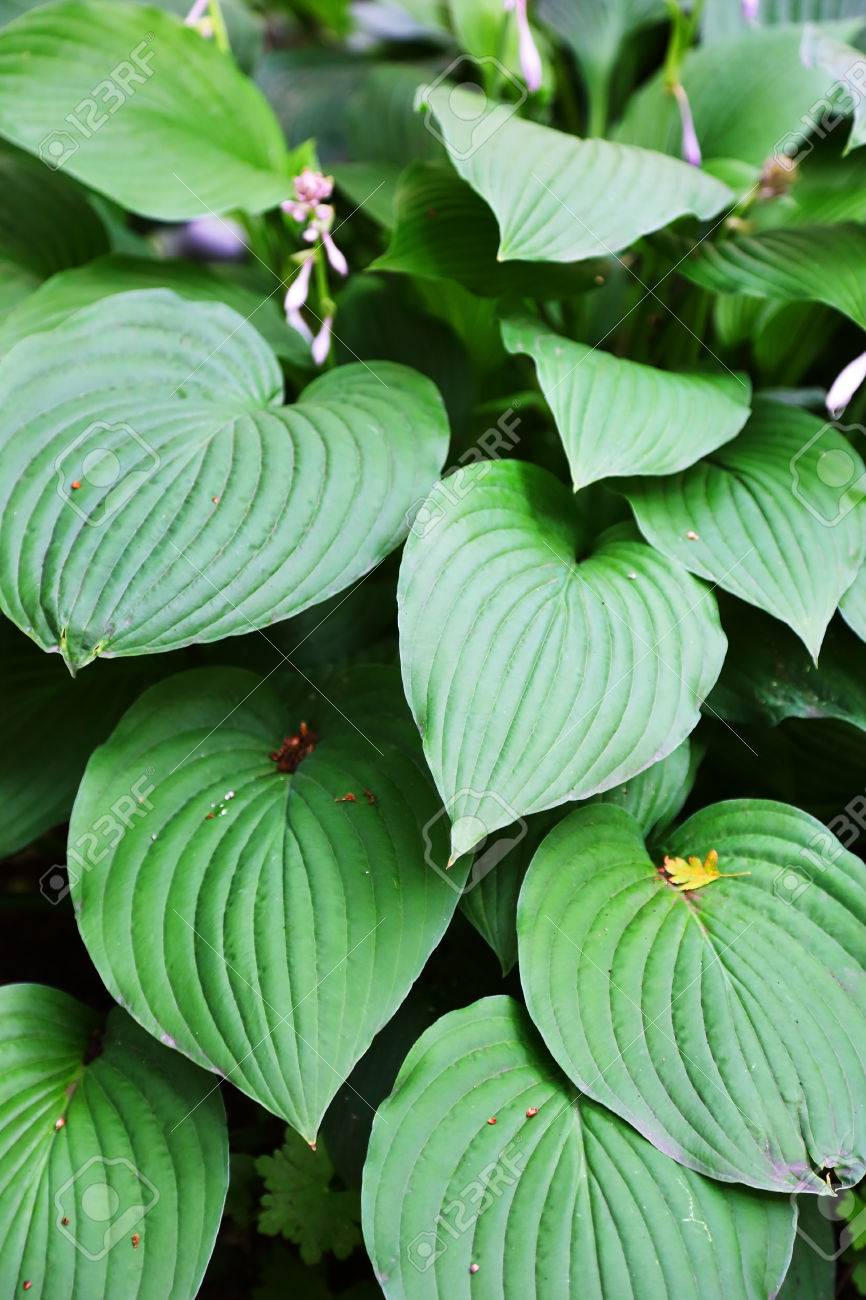Large Green Leaves Of Tropical Plants Stock Photo Picture And