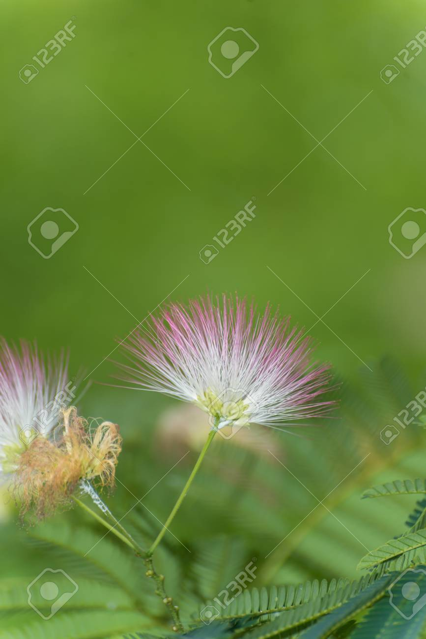 Close Up Of A Silk Tree Flowers Stock Photo Picture And Royalty